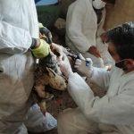 اجرای طرح واکسیناسیون نیوکاسل طیورروستایی در محسن آباد برخوار