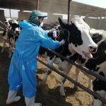 اجرای طرح رایگان واکسیناسیون تب برفکی دامهای سنگین در شهرستان برخوار