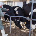 بیش از ۲۰ هزار رأس دام سنگین برعلیه بیماری لمپی اسکین واکسینه شدند