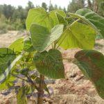 کاشت درخت پولساز در حبیب آباد
