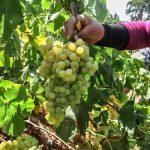 برداشت انگور از ۳۵۰ هکتار تاکستان های شهرستان برخوار آغاز شد