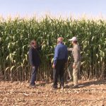 کشاورز برخواری رکورد دار تولید ذرت علوفه ای در استان