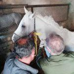 ۱۲۱ راس اسب در شهرستان برخوار مورد تست «مشمشه» قرار گرفت